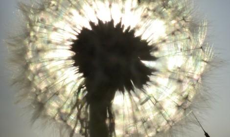dandelion-215169_1920