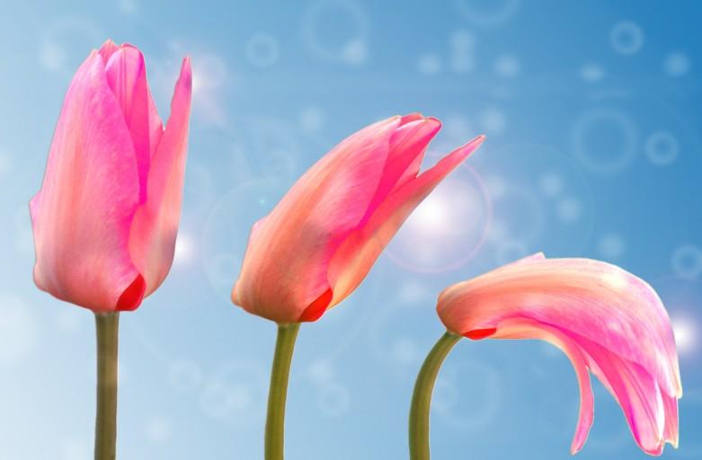tulip-1320559_1920